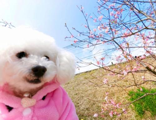 愛犬を連れて桜フォトジェニックな温泉旅!早咲きの河津桜を見に伊豆へ行ってきました。